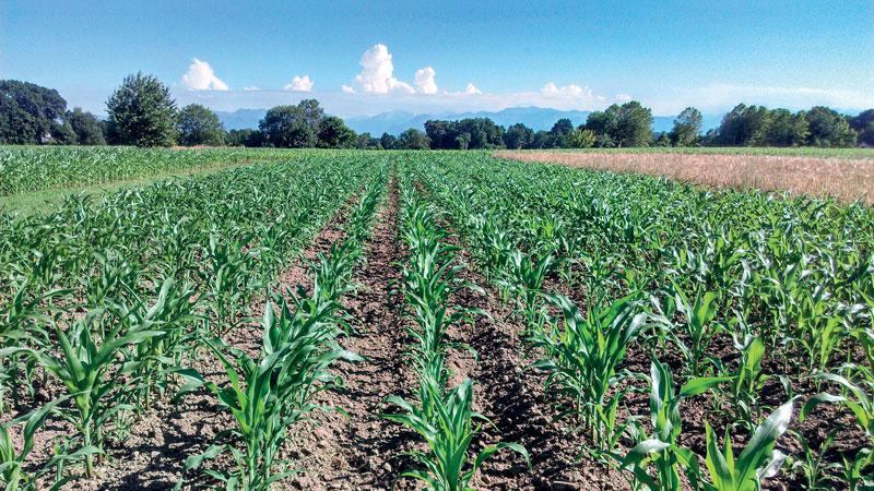 Monoculture de maïs avec une orge  intercalée