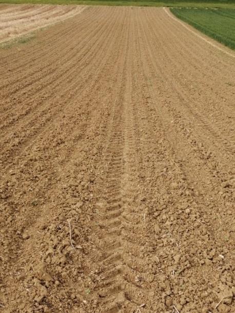 Levée corects pour le tournesol malgré une implantation sur un sol parfois motteux
